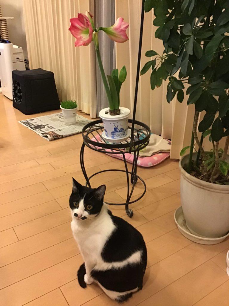 アマリリスと猫